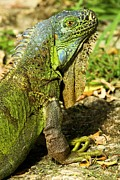 Adam Jewell - Cozumel Green Iguana