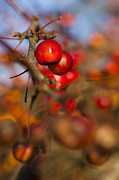 Rosaceae Posters - Crab Apple Bright Poster by Anne Gilbert