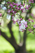 Fruit Tree Metal Prints - Crab Apple Snow Cloud Tree Blossom Metal Print by Tim Gainey