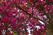 John Brueske Acrylic Prints - Crab Apple Tree Close 1 A Acrylic Print by John Brueske
