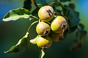 Crisp Framed Prints - Crab Apples - Featured 3 Framed Print by Alexander Senin