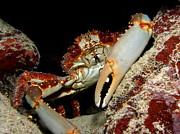 Crab Pose Print by Nina Banks