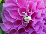 Cheryl Hoyle - Crab Spider and Dahlia