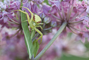 Swamp Milkweed Photos - Crab Spider on Swamp Milkweed by Kathryn Whitaker