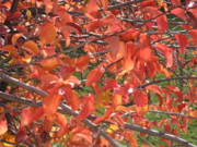 Reds Of Autumn Acrylic Prints - Crabapple Acrylic Print by Kimberly Maxwell Grantier