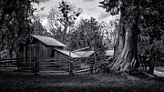 Lynn Palmer Prints - Cracker Barn and Gnarled Southern Red Cedar Print by Lynn Palmer