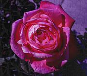 Crackled Fuchsia Rose Print by Janice Rae Pariza
