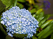 Blue Flowers Photos - Cradled Hydrangea by Christi Kraft