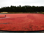 Sour Metal Prints - Cranberry Harvest 2 Metal Print by Andrea Anderegg