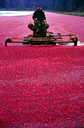 Cranberry Harvest Print by Eva Kato