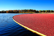 Cranberry Harvest In New Jersey Print by Olivier Le Queinec