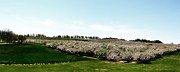 Michelle Calkins - Crane Orchards in Bloom