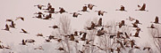 Flocks Of Birds Prints - Cranes Across the Sky Print by Don Schwartz