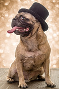 Pug Photos - Crazy Top Dog by Edward Fielding