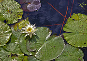 Lily Pond Originals - CrazyLilyPond by Michael Williams