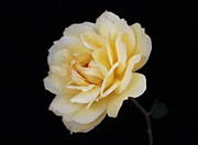Carol Welsh - Cream-Colored Rose