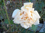 Roze Prints - Cream-Colored Rose Print by Carolyn Quinn