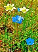 Escapees Art - Cream Cups and Baby Blue Eyes in Park Sierra by Ruth Hager