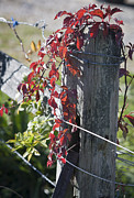 Tendrils Posters - Creeper on Fence Post Poster by Teresa Mucha