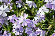 Creeping Phlox Framed Prints - Creeping Phlox Framed Print by Duane Klipping