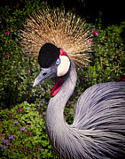 Howard Bell - Crested Crane
