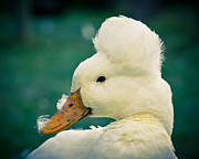 Ghose Framed Prints - Crested Duck Framed Print by Priya Ghose