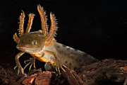 Newts Photos - Crested Newt Larva by Dirk Ercken