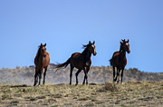 Mustangs Metal Prints - Cresting the Ridge Metal Print by Mike  Dawson