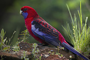 Walhalla Framed Prints - Crimson Rosella Framed Print by Craig Jenner