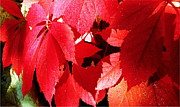 Danielle  Parent - Crimson Virginia Creeper...