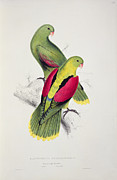 Exotic Drawings Posters - Crimson Winged Parakeet Poster by Edward Lear