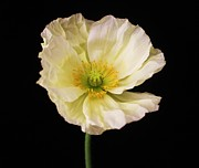Carol Welsh - Crinkled Poppy