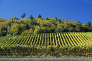 Grape Vineyards Prints - Cristom Vineyards Print by Greg Vaughn