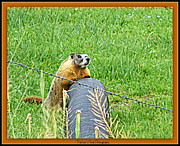Print On Acrylic Photo Framed Prints - Critter on the Loose Framed Print by Bobbee Rickard