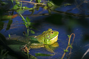Amphibians Photo Posters - Croaking Bullfrog Poster by Donna Kennedy
