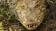 Crocodile Print by Aged Pixel