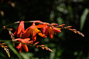Fine Art Photography Posters - Crocosmia Dusky Maiden Flowers Poster by Scott Lyons