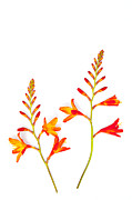 Crocosmia Framed Prints - Crocosmia on White Framed Print by Carol Leigh