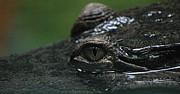 Croc's Eye-1 Print by Gary Gingrich Galleries