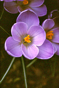 Addie Hocynec Art Photos - Crocus by Addie Hocynec
