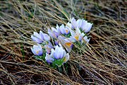 Andrea Lawrence - Crocus Bunch
