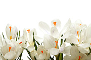 Online Flower Shop Prints - Crocus flower Print by Boon Mee