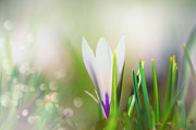 Joyful Posters - Crocus Flowers Dreamy Poster by Sabine Jacobs