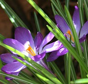 Barbara S Nickerson - Crocus Focus