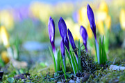 Hannes Cmarits Metal Prints - Crocus Metal Print by Hannes Cmarits