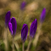 Hannes Cmarits Art - crocus II - sun by Hannes Cmarits