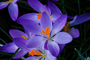 D5000 Prints - Crocus in Spring 2013 Print by Roger Reeves