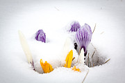 Nick Mares - Crocus in the snow