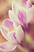 Violet Photos - Crocus by Kim Fearheiley