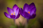 Crocus Flowers Prints - Crocus Pair Print by Mike Reid